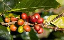 Costa Rica Kaffee